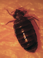 bed bug adult engorged with blood
