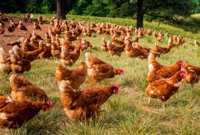chickens running free in pasture