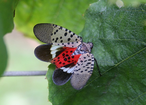 Spotted Lanternfly adult with wings spread
