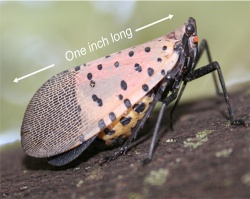 Spotted Lanternfly adult, side view, sitting on a branch.