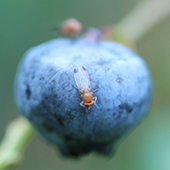 adult male spotted wing drosophila on blueberry