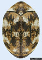 carpet beetle, adult