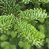 Abies fraseri foliage