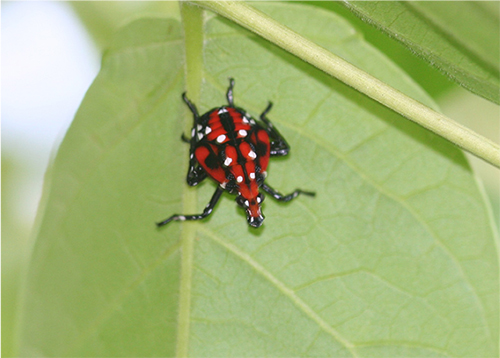 Spotted Lanternfly 4th instar nymph