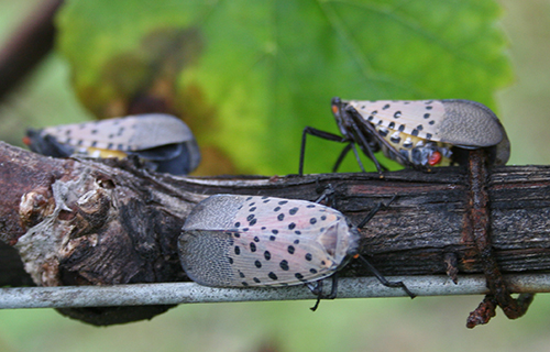 Spotted lanternfly adults on grapevine