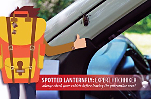 Image of hitchhiker with photo of spotted lanternfly on car