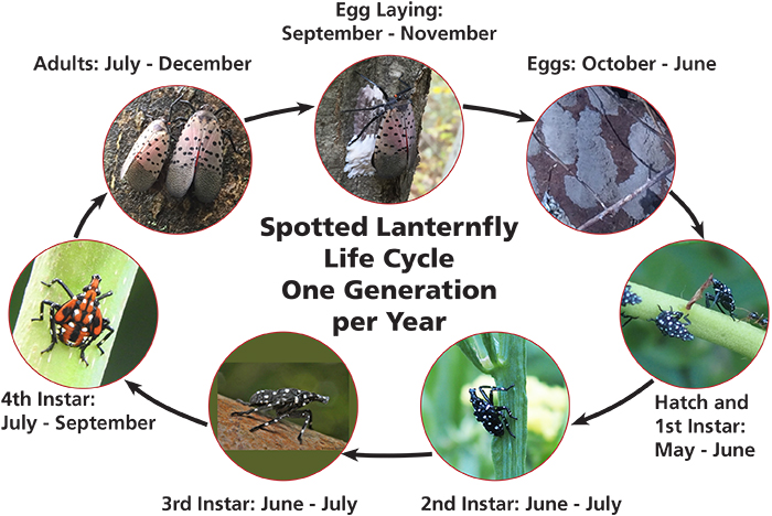 Spotted Lanternfly Life Cycle