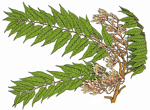 Illustration of female Tree of Heaven