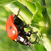 Beneficial Insects: a ladybug