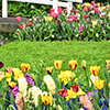 Colorful tulips bordering a lawn