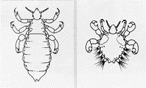 Head/body (they look the same) vs crab lice.