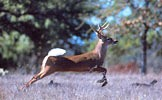 White-tailed buck.
