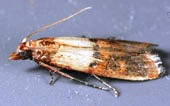 Indian meal moth.
