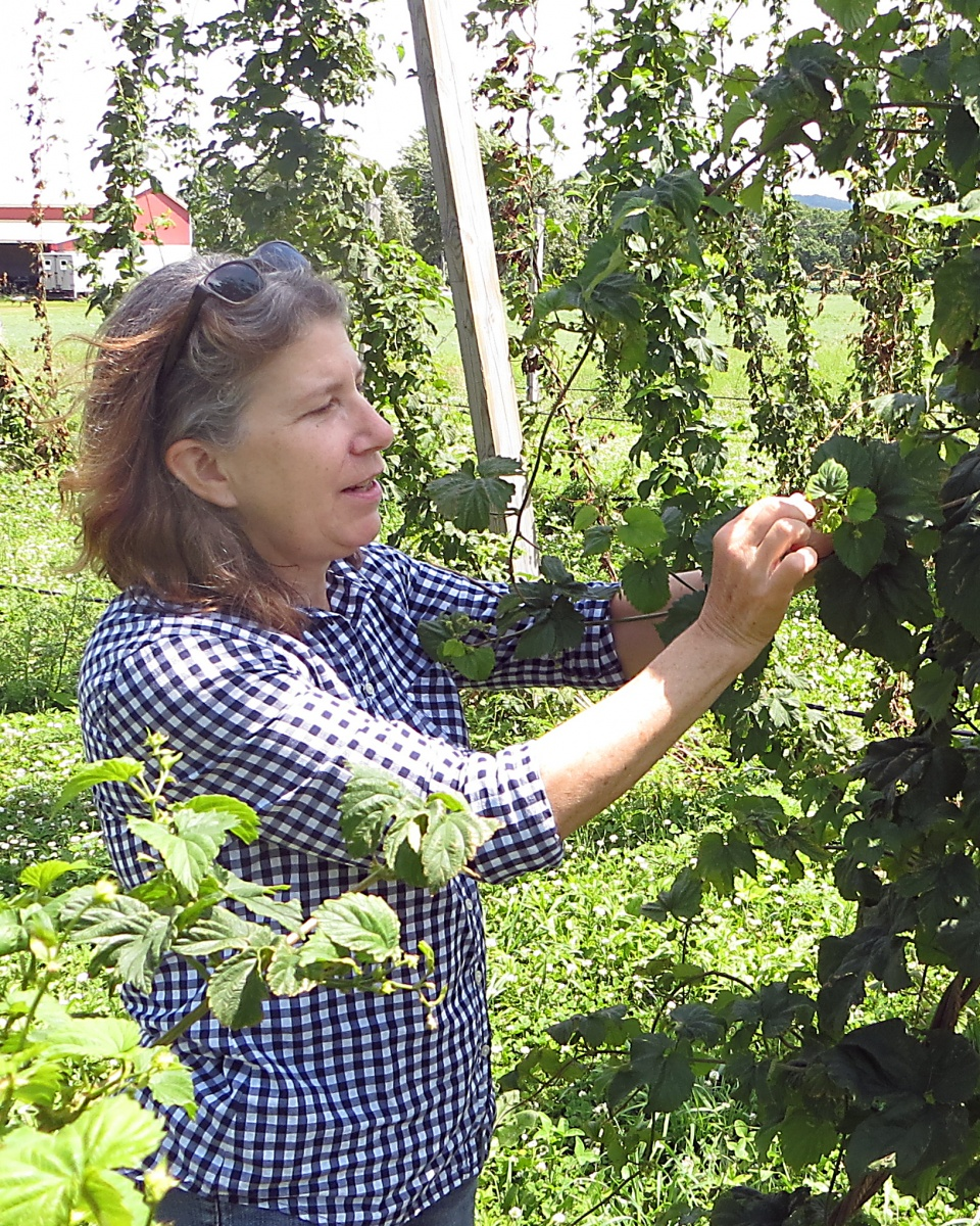Julie Carroll checking hops.