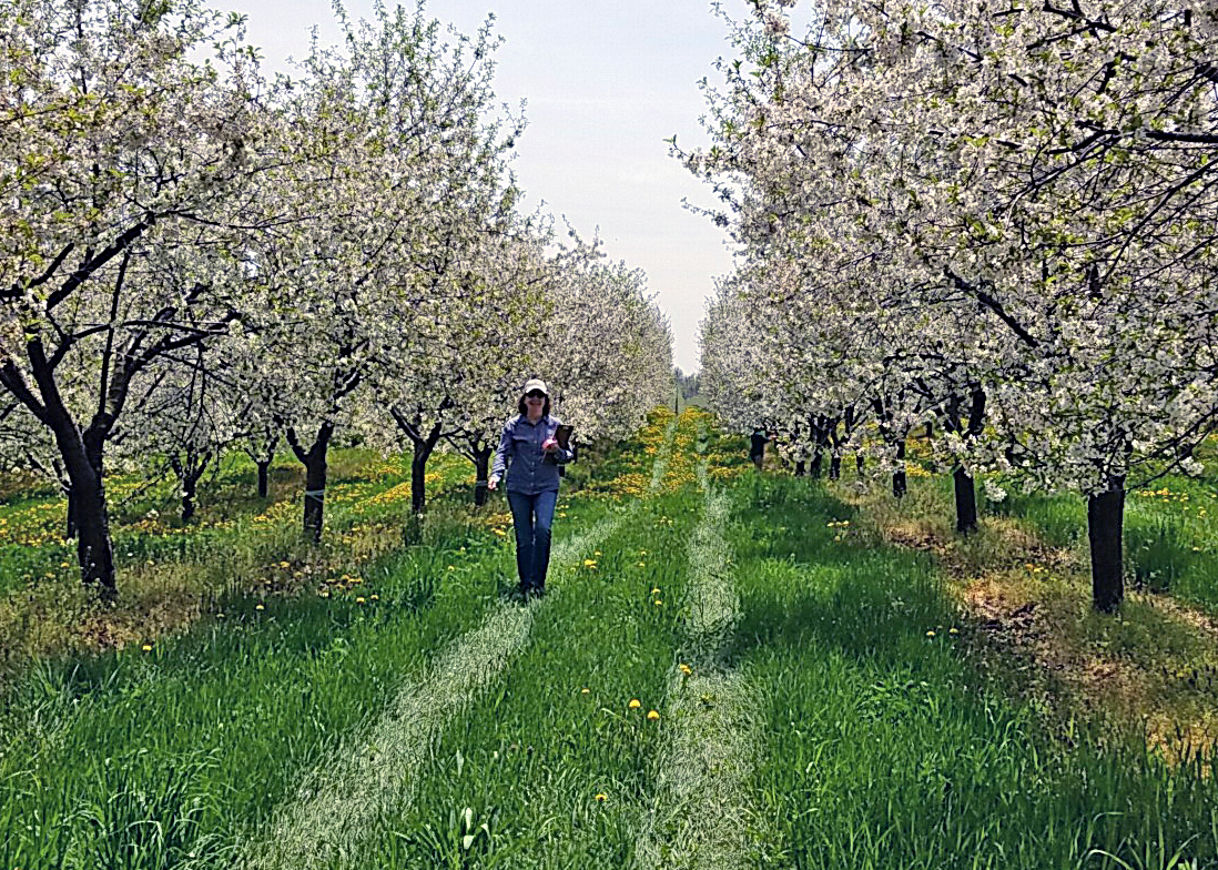 Julie Carroll among blooming apple trees.
