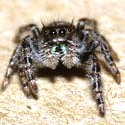 Jumping spider.