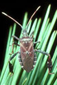 Leaf-footed pine seed bug.