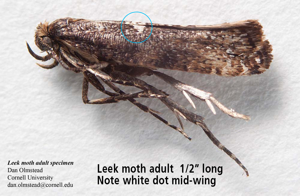 "Leek moth adult  1/2"" long—Note white dot mid-wing"
