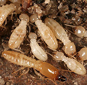 worker and soldier termites