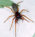 sowbug killer spider