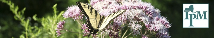 Swallowtail butterfly on Joe Pye Weed