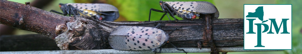 Spotted Lanternfly adults on a grapevine