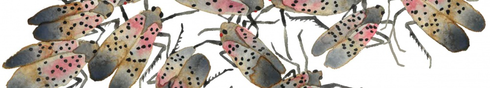 Spotted Lanternfly adults