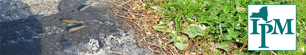 armyworms crawling on asphalt