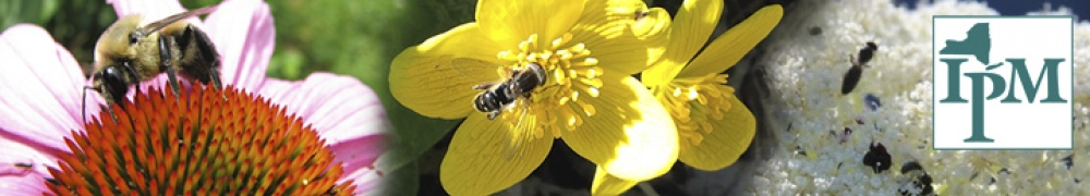 Bees and Flies pollinate coneflower, marsh marigold, and Queen Anne's lace