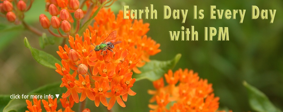 Earth Day with IPM: a wild bee on butterfly weed