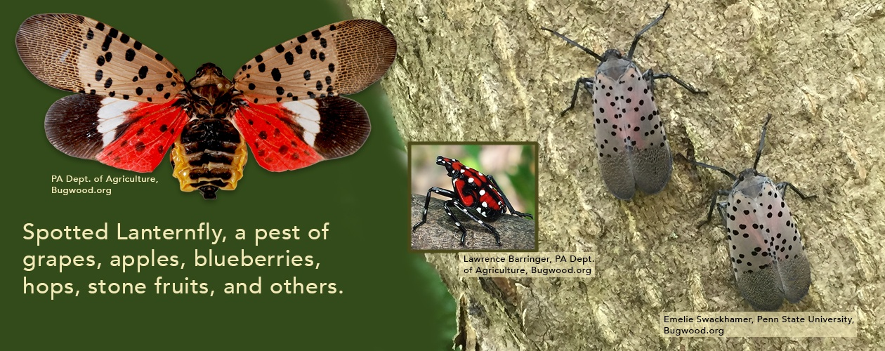 Spotted Lanternfly in New York State