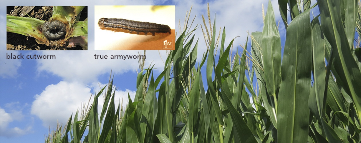An image of a black cutworm larva, and a true armyworm larva, against a background of a stand of green field corn and blue sky.