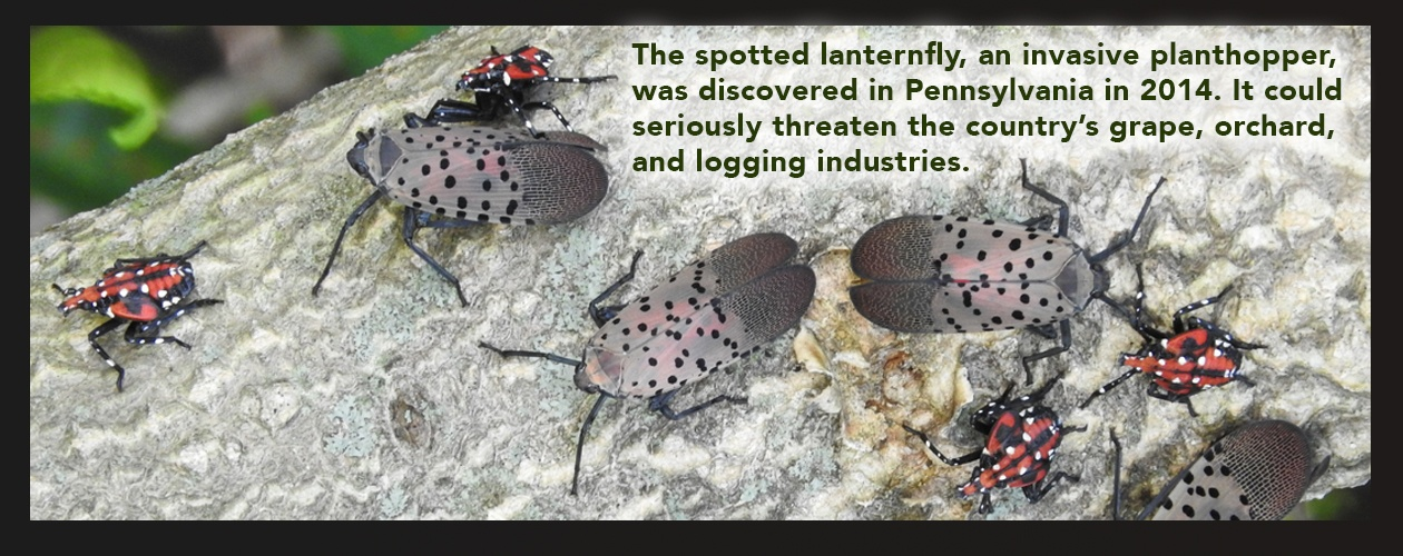 Spotted Lanternfly adults and fourth-instar nymphs resting on a tree branch.