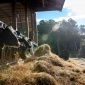 Cows in their barn eating hay
