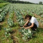 a woman inspecting cabbages in a cabbage field