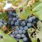 a bunch of concord grapes