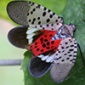 spotted lanternfly adult, showing red, black, and white wings, with black spots